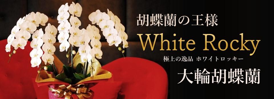 胡蝶蘭の王様ホワイトロッキー大輪胡蝶蘭