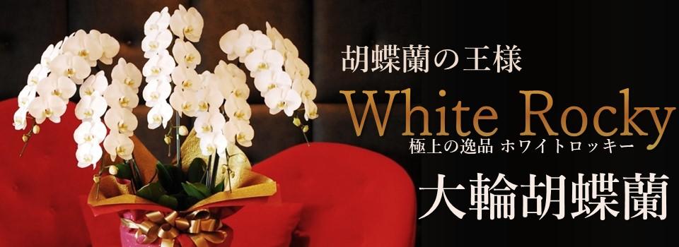 15000円代の胡蝶蘭お届け用お祝い開店開業就任昇進東京横浜